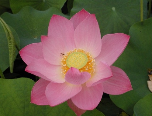 How to plant water lotus and lilies
